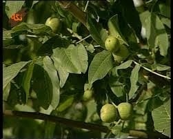 درختان گردوی امامقیس درشهرستان بروجن  ثبتملی میشود