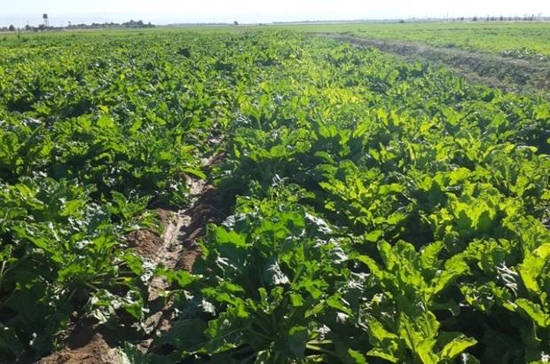 2 هزار هکتار از مزارع دزفول به کشت چغندرقند اختصاص یافت