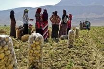 دستان پینه بسته زنان با کار در مزارع کشاورزی
