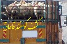 کشف 223 راس گوسفند قاچاق  در بناب