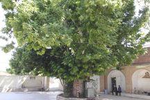 درخت ۴۵۰ساله چنار معز آباد کهنوج ثبت ملی شد