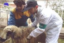 300 هزار دام در آذربایجان غربی علیه تب برفکی واکسینه می شوند