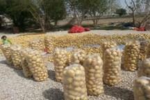 برداشت پاییزه قیمت سیب زمینی خراسان شمالی را متعادل می کند