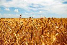 ۴۲۰ هکتار از زمین های کشاورزی ایوان زیر کشت پائیزه رفت