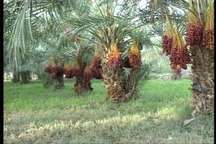 دولت دست دلالان از محصول خرمای سیستان و بلوچستان را کوتاه کرد