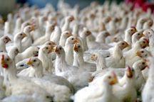 شیوع بیماریهای طیور عامل افزایش قیمت مرغ است