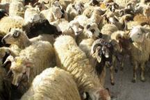 75 راس گاو و گوسفند قاچاق در بافق کشف شد