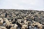 دام عشایر چهارمحال و بختیاری گرفتار فقر مراتع مناطق گرمسیری