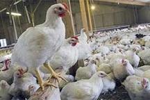 1500 قطعه مرغ آلوده در شهر ری کشف و معدوم شد