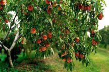ردیابی مگس مدیترانهای در سطح ۹۰۰ هکتار از باغهای جیرفت انجام شد