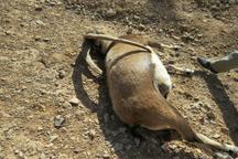 یک راس کل وحشی در هرات در خاتم تلف شد
