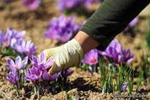 تولید زعفران مرغوب در استان اردبیل از 100 کیلوگرم فراتر رفت
