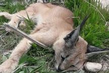 گربه سان کمیاب در جهرم از مرگ نجات یافت