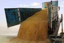 3200 تُن گندم مازاد بر نیاز کشاورزان سردشت خریداری شد