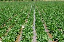بارش های بهاره 20 درصد از کشت چغندر قند در فریدن کاست