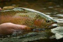 35 تن ماهی قزل آلا در محلات تولید شد