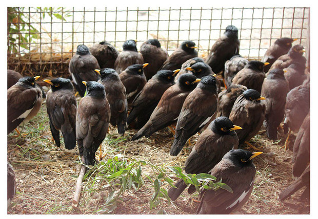 400 قطعه پرنده زینتی قاچاق در نیمروز کشف شد