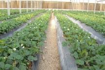 سالانه هشت هزار تن محصولات گلخانه ای در قزوین تولید می شود