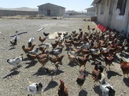 تولید سالانه 200 هزار قطعه جوجه بومی در آذربایجان غربی