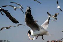 ورود پیش قراولان پرندگان مهاجر به گیلان