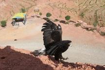 رهاسازی پنج بهله گونه پرنده شکاری در ارتفاعات عینالی تبریز