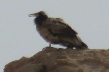 یک بهله کرکس مصری درگناوه استان بوشهر مشاهده شد