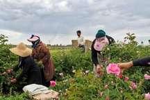 278 تن گل محمدی در خراسان شمالی برداشت شد