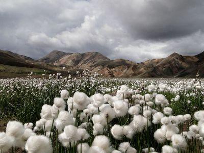 سایت الگویی تولیدی و ترویجی  پنبه در خراسان شمالی اجرا می شود
