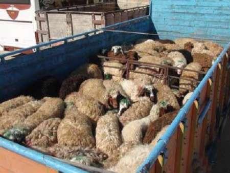 210 راس دام قاچاق در منوجان کشف شد