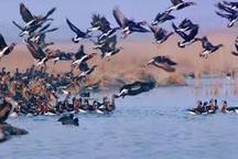 شکار پرندگان در تالاب های پلدختر ممنوع شد