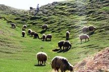 71 درصد جمعیت دامی ایلام متعلق به عشایر است