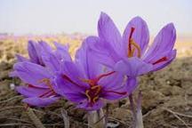 تولید 79 درصد زعفران کشور در خراسان رضوی