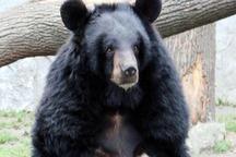 خرس سیاه بلوچی به دامن طبیعت شهرستان سرباز بازگشت