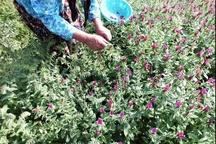 برداشت 340 تن «گل گاوزبان» از باغات گیلان  اشتغال بیش از 6 هزار خانوار گیلانی به کشت گل گاوزبان