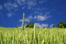 امسال 748 هزار تن گندم در آذربایجان غربی تولید می شود