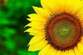 360 تن دانه آفتابگردان از کشاورزان کرمانشاه خریداری شد