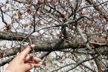 600 هکتار از درختان گردو شهرستان کیار خشک شد