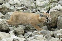 دوستدارطبیعت،گربه گوش بلند را درفیروزآباد فارس تیمار کرد