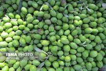 مبارزه با آفت مگس زیتون در 3000 هکتار از باغات قزوین