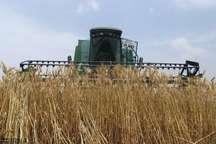 خرید 6500 تن گندم در بانه پیش بینی می شود