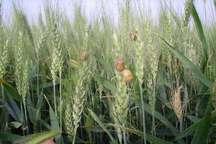 مبارزه با پوره سن غلات در کشتزارهای خراسان شمالی ادامه دارد