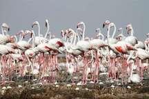 شکار و تخریب زیستگاه مهمترین تهدیدات فلامینگوها در خوزستان است