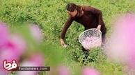 برداشت گل محمدی در چین!+ عکس