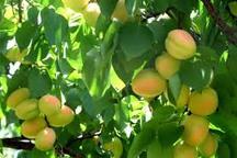بیش از 29 هزار تن زردآلو در آذربایجان غربی برداشت می شود