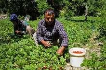 سال آینده محصول توت فرنگی در محل تولید از کشاورزان کردستانی خریداری می شود
