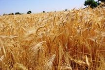 امسال سطح زیر کشت گندم پاییزه در ارومیه از مرز ۱6 هزار هکتار گذشت