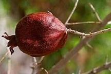کاهش 90 درصدی تولید انار خراسان رضوی بر اثر سرمازدگی