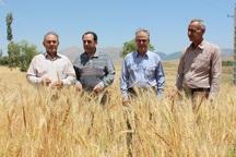بیش از 600 هزارتن گندم در استان اردبیل تولید می شود