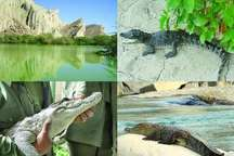 سرشماری 356 تمساح پوزه کوتاه در جنوب سیستان و بلوچستان
