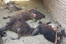 دامداران در 99درصد از حملات گرگ به دام ها مقصر هستند